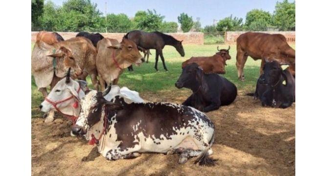 Amrit global desi cow ghee